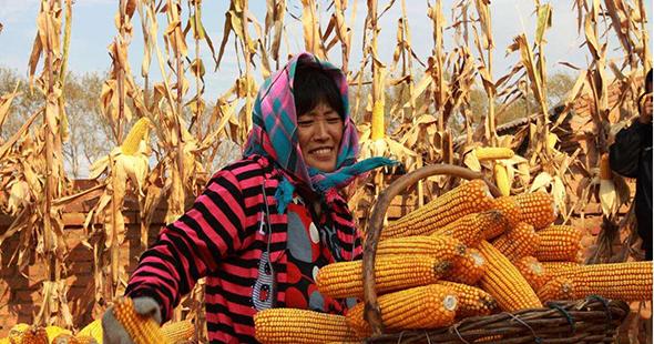 今年稻谷最低收购价保持不变