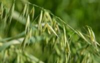 石家庄海关截获法国野燕麦等多种有害生物