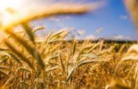 秋粮收获接近尾声 粮食生产有望连续第五年稳定在1.3万亿斤