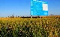 """湖北水稻增收49万吨 科技成果在田间地头""""生根发芽"""""""