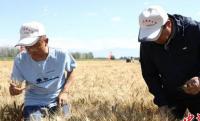 亩产840.34公斤!新疆冬小麦创单产新高
